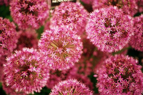 Flower my smart shop beautiful and exotic allium flower mightylinksfo