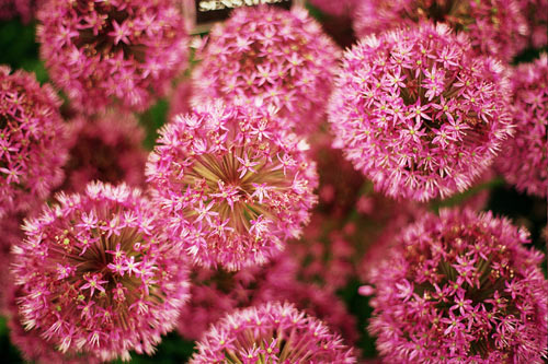 Beautiful and exotic Allium flower