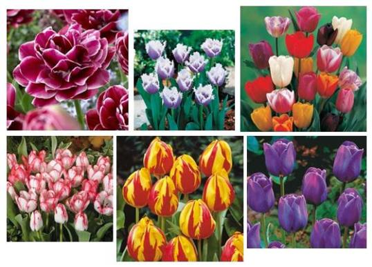 Sensational collection of Tulips